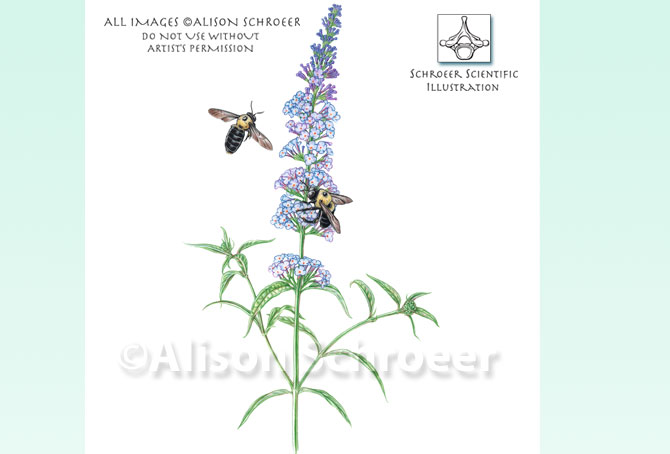 Portfolio 27 Carpenter bees on butterfly bush illustration Xylocopa virginica L.