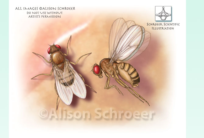 Portfolio 32 Fruit fly illustration Drosophila melanogaster