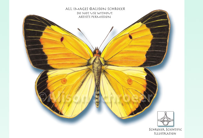 Portfolio 38 Alfalfa butterfly Orange sulfur illustration Colias eurytheme Boisduval