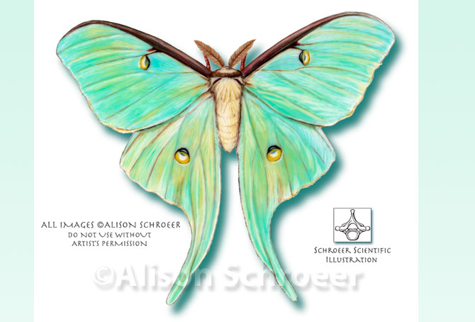 Luna moth scientific illustration - photo#3