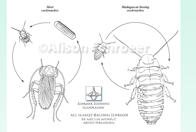 Portfolio 55 Madagascar hissing cockroach and American cockroach lifecycle