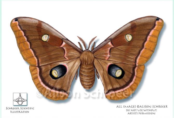 external image Large-9-Polyphemus-Moth-Illustration-Antheraea-polyphemus.jpg